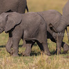 African elephant youngsters walking in the middle of the herd.