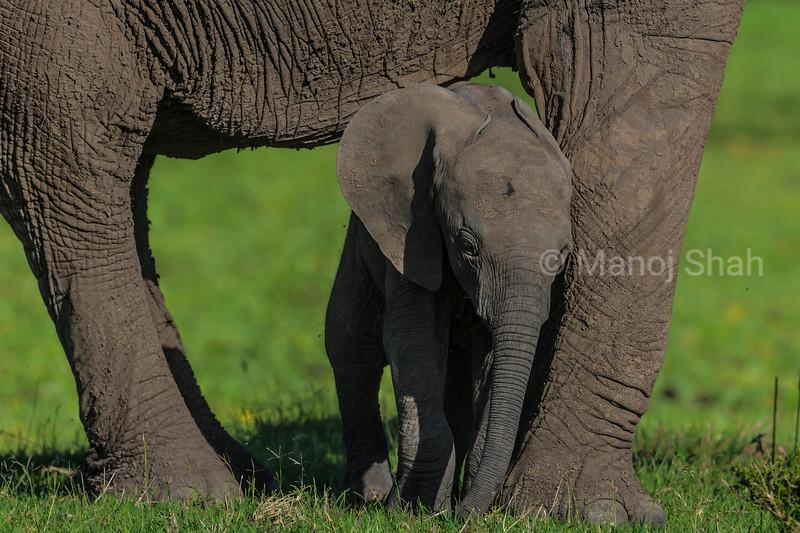 Elephant baby resting on mother's leg
