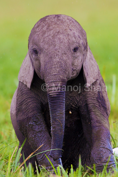 Elephant baby playing besides mother