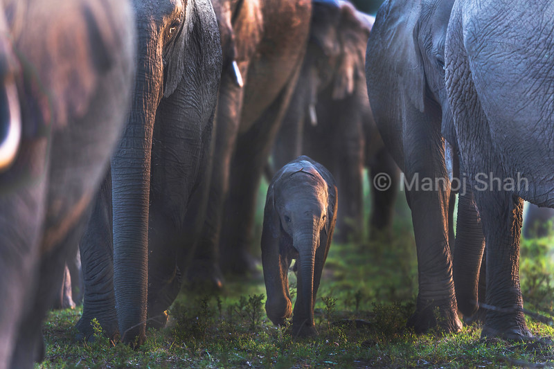 African elephant baby walking in the middle of the herd.