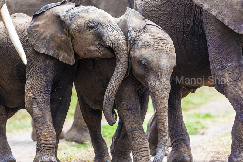 Elephant babies walking with the adults. For added protection, the adults surround the babies.