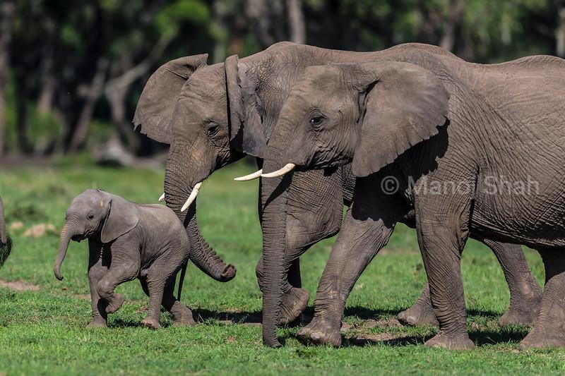 Elephant herd with baby