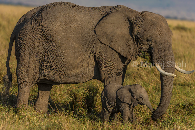 African Elephant mother and baby happily grazing in the Masai Mara savanna.