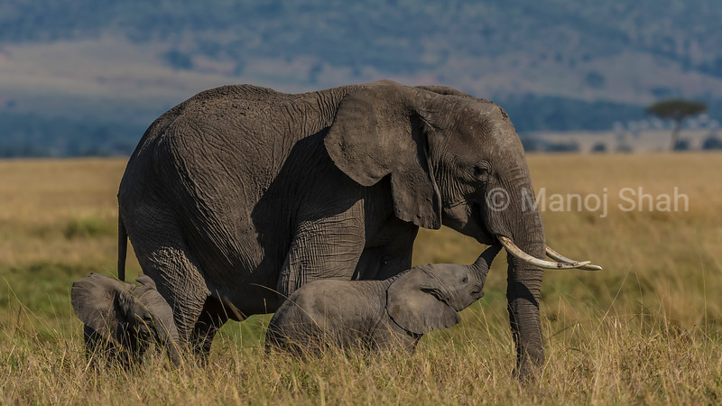 African Elephant baby happily smells mother's mouth in the Masai Mara savanna.