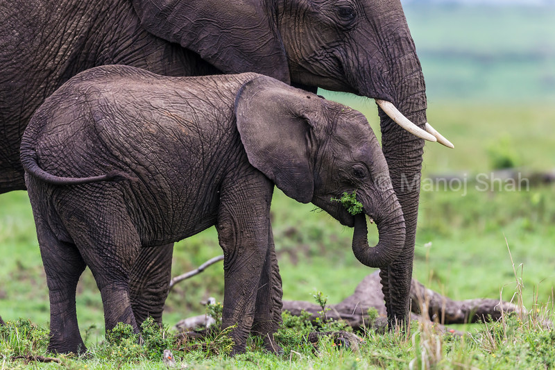 Female elephant with baby