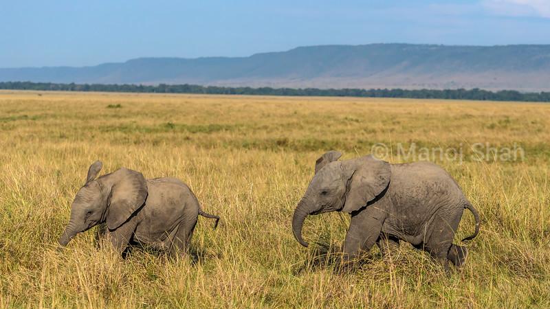 african elephant babies happily playing in Masai Mara savanna,