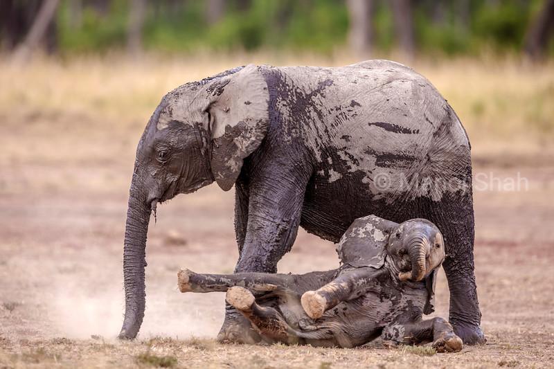 Young elephants playing in dust in Masai Mara