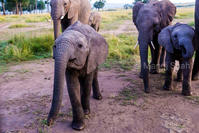 Elephant calf with herd in masai Mara