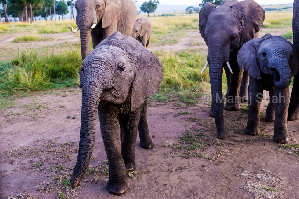 Elephant calf with herd in masai Mara