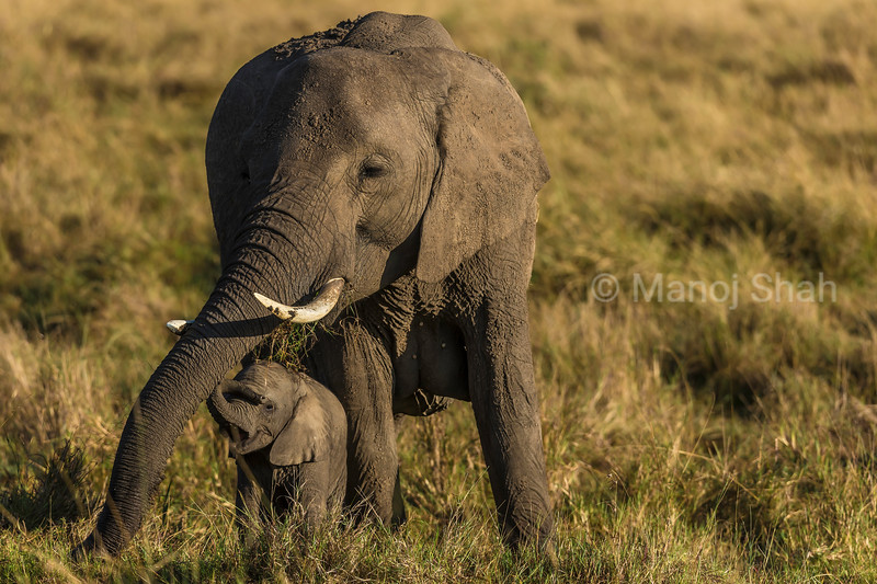 African Elephant baby happily playing with mother in the Masai Mara savanna.
