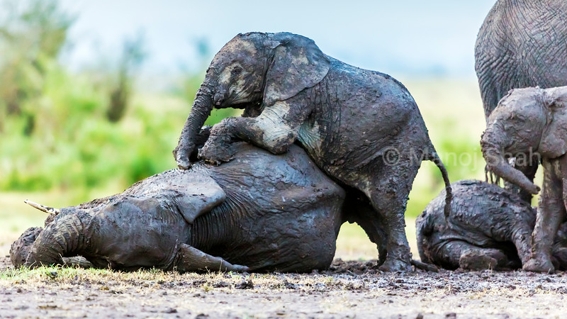 After days of dry and hot weather, it suddenly poured in Mara. The elephant herd went beserk with joy especially the youngsters who started playing in the mud.