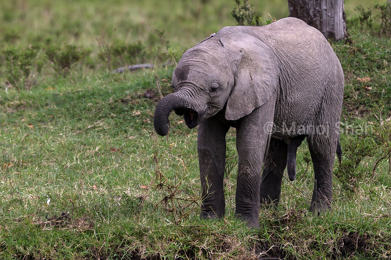 African Elephant youngster playing with dried grass.