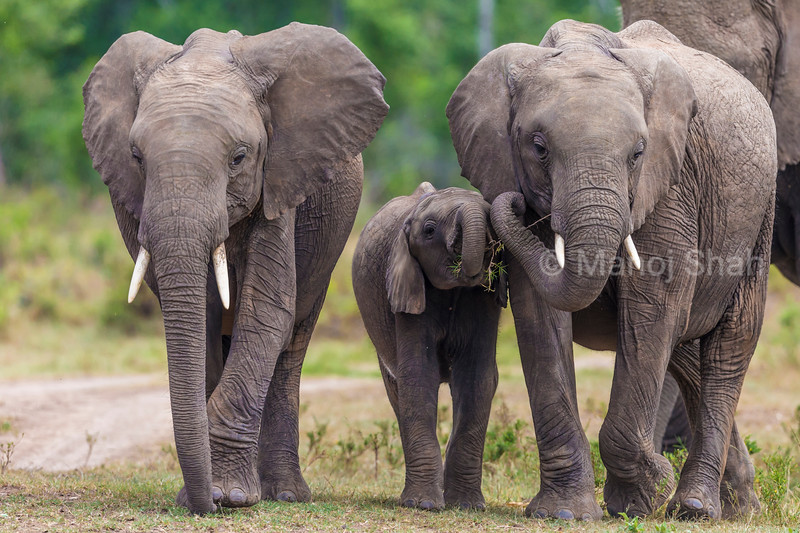 Elephant younsters playing while walking with the herd.