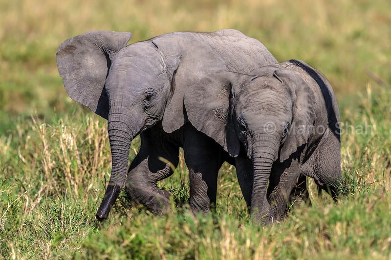 african elephant babies happily playing in Masai Mara savanna.
