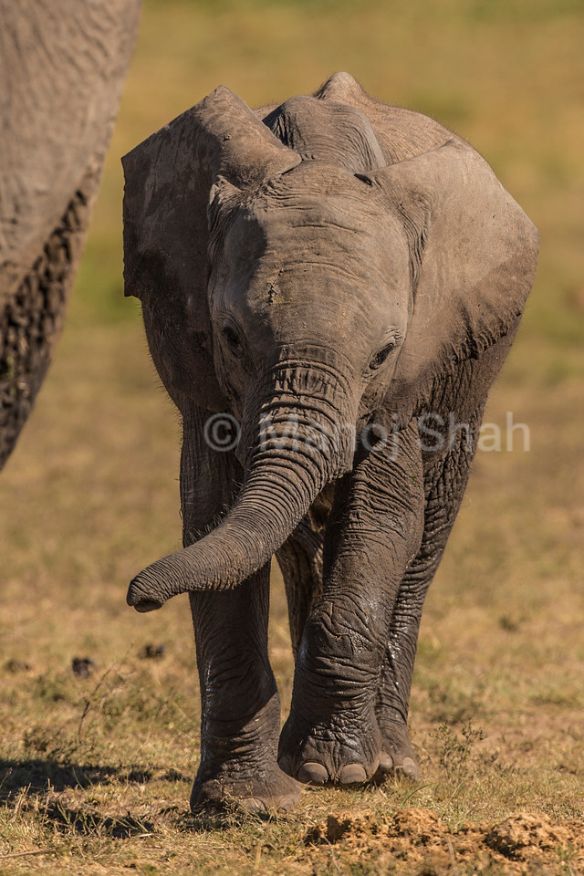African Elephant baby walking besides mother
