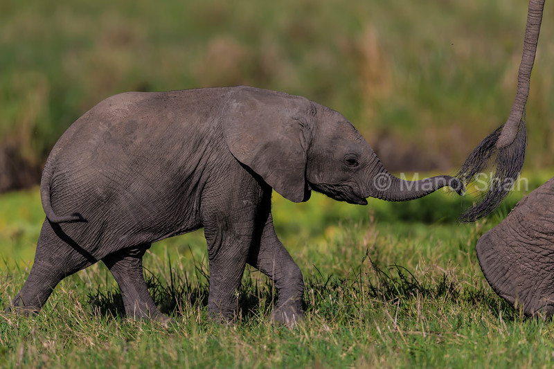 baby elephant walking with mother