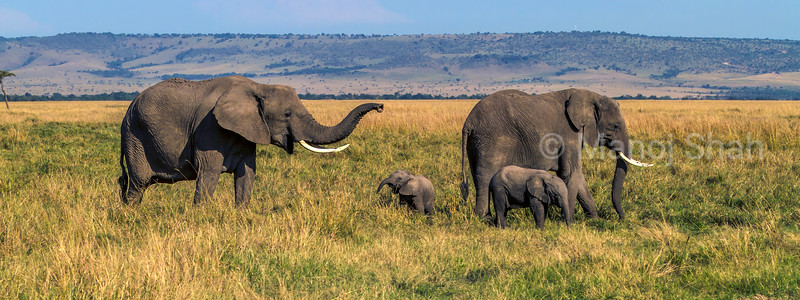 African Elephant herd  happily grazing in the Masai Mara savanna.
