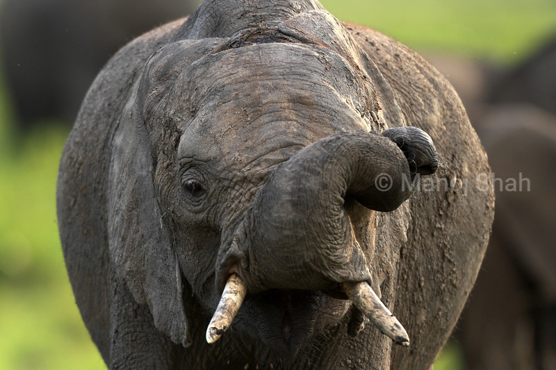 The trunk of the elephant is a very flexible elongated nose adapted to be used as a 'hand', with an excellent sense of smell.