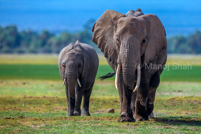 African Elephant mother and young walking  in Amboselli National Park, Kenya