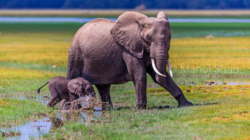 African Elephant mother and baby walking in marsh