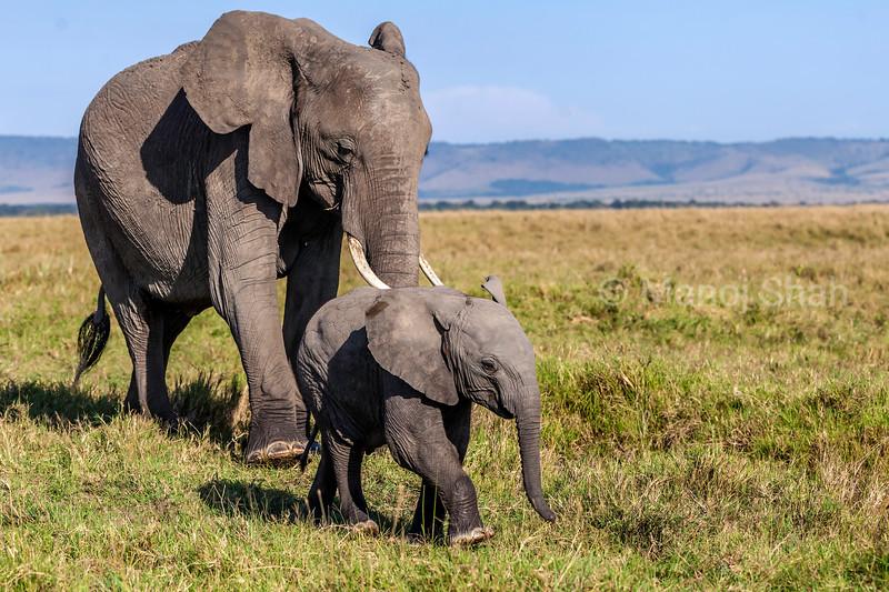 african elephant babies happily following her baby in Masai Mara savanna.