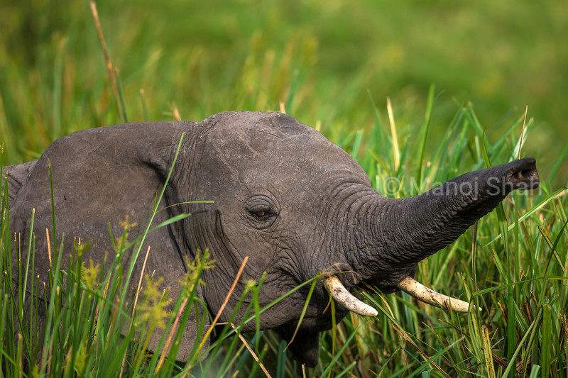 African Elephant in the long grass of the swamp