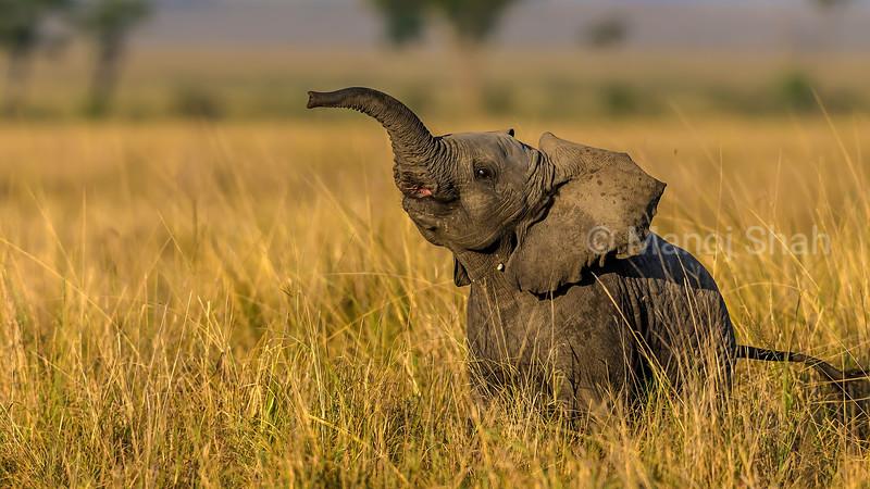 African Elephant baby happily grazing in the Masai Mara savanna.