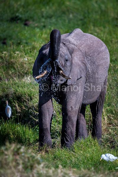 Baby Elephant drinking water from the marsh in Ol Pejeta, Laikipia.