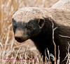 close up of the honey badger