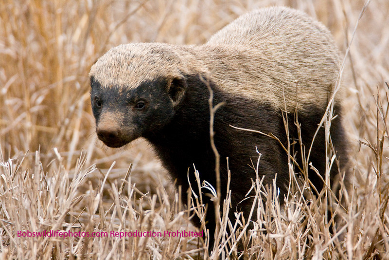 This shot was of a badger between lower sabi and santara in the Kruger Park.
