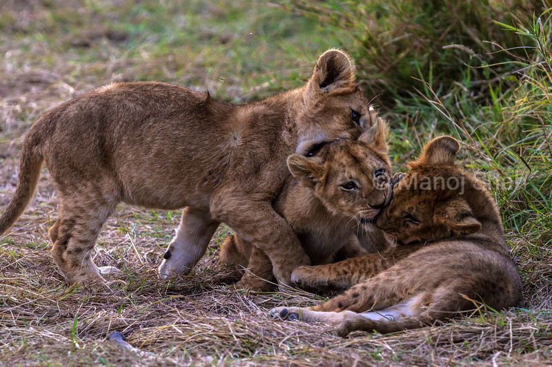 3 Lion cubs in play
