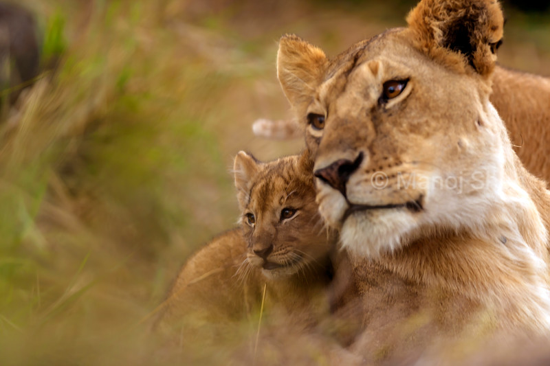 Lionesses and cub keenly watching the pride in Masai Mara.