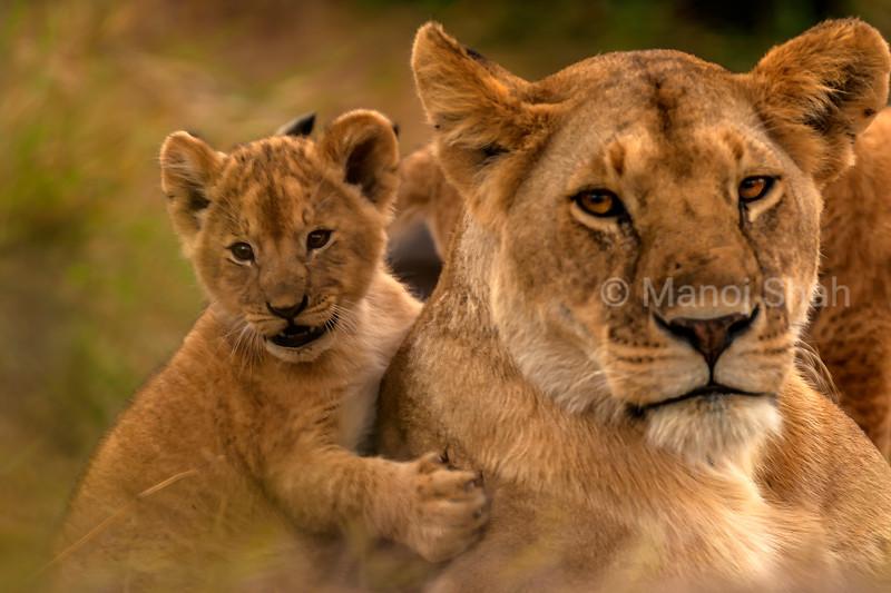 Lion cub hugs mother in Masai Mara.