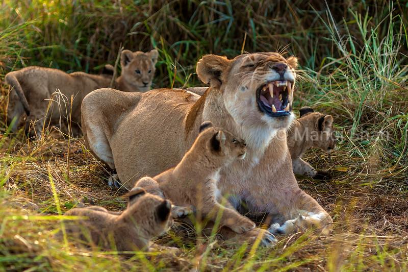 Cub watching mother lioness yawn in Masai Mara.