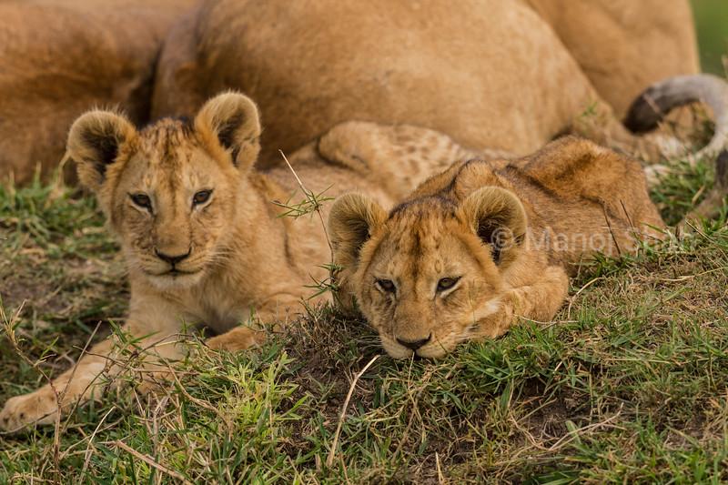 Lion cubs on mound