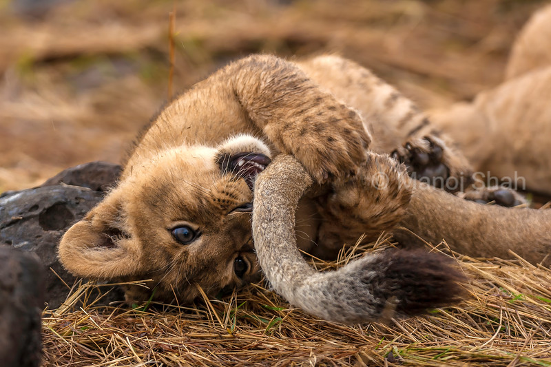 Lion cub playing happily with mother's tail in Masai Mara.