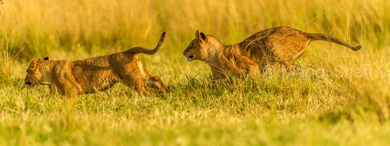 Lion cubs happily chasing each other in Masai Mara.
