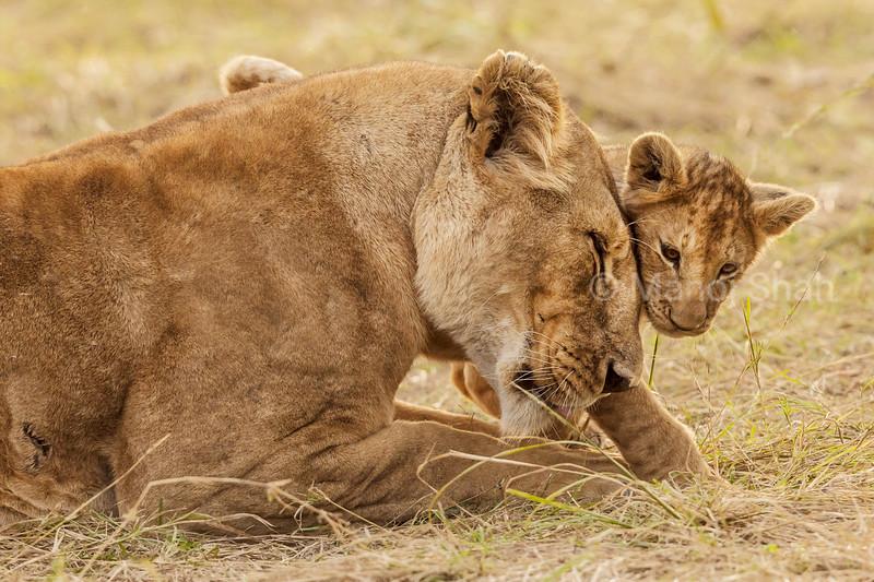 lioness greeting cub