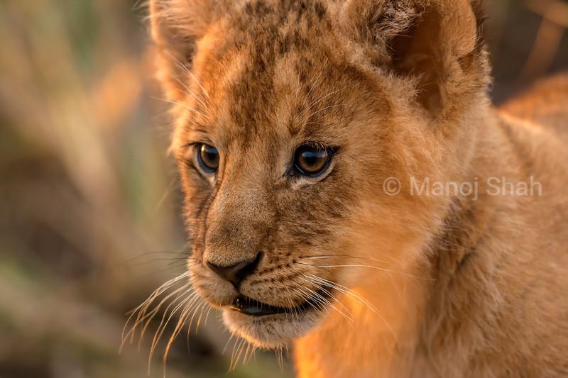 Lion cub on alert in Masai Mara.