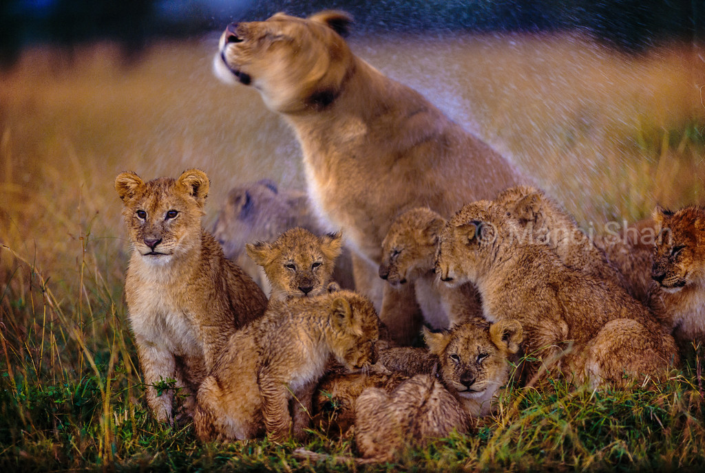 Lioness with cubs shking off rain water in Masai Mara.