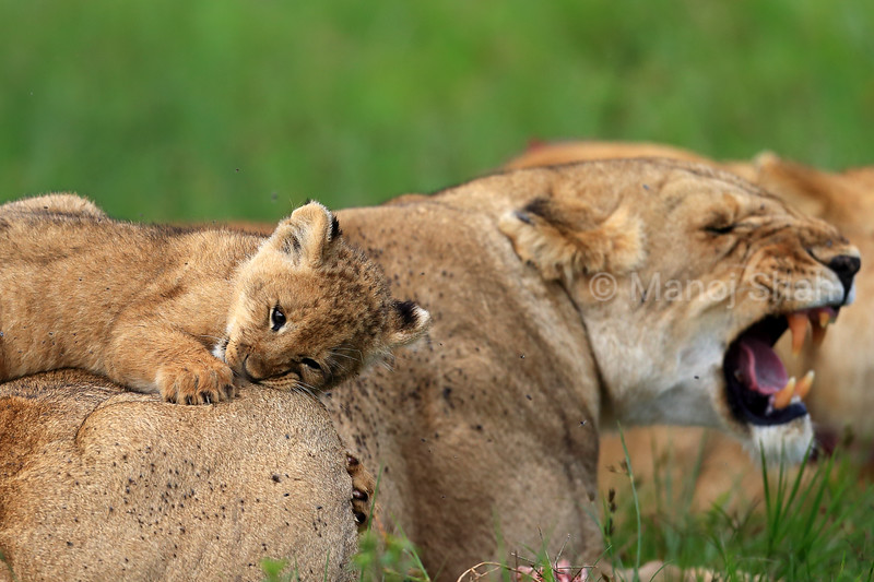 lioness angered by her cub playing on her back
