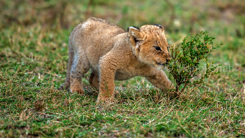 Lion cub playing with a small bush in Masai Mara.