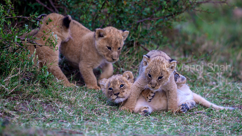 Lion cubs playing in Masai Mara