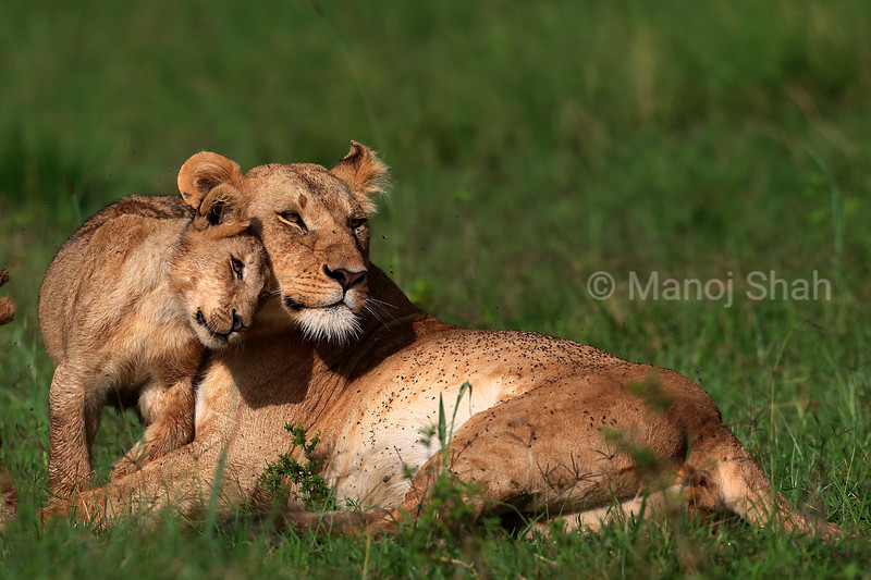 lioness resting with  cub
