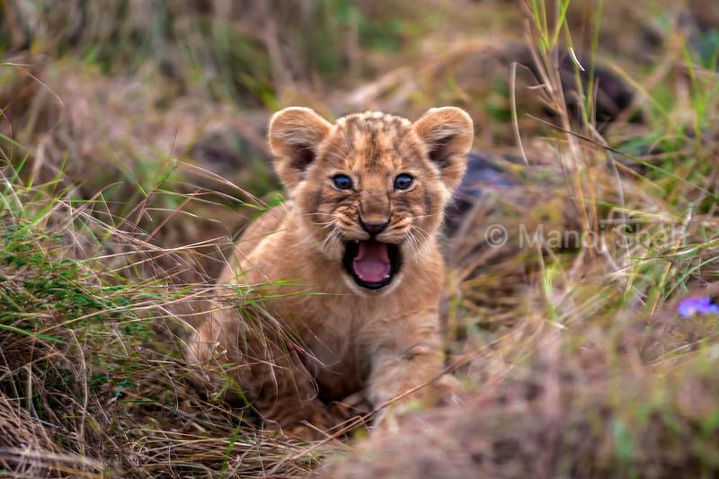 Lion cub snarling in Masai Mara.