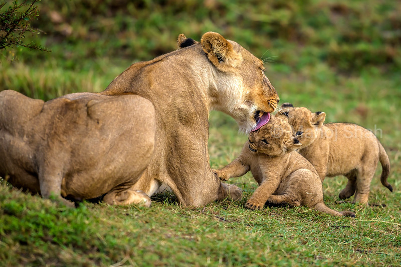 Lioness affectionately licking her cubs in Masai Mara.