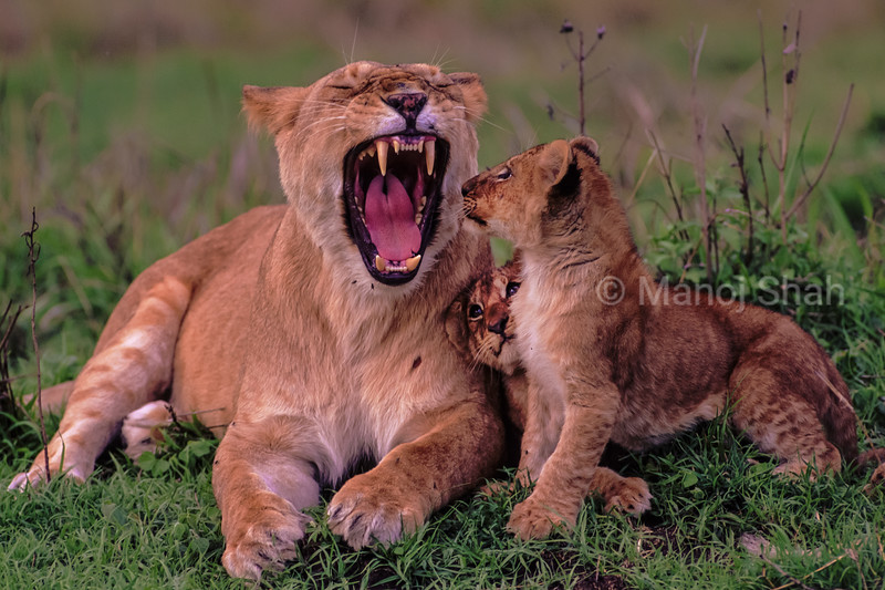 Two curious lion cubs in Masai Maras are fascinated in seeing their mother yawn,