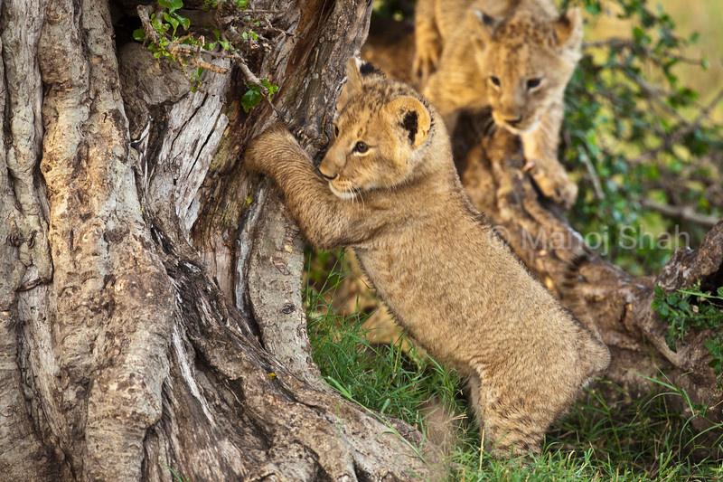 Lion cub scratching its nails on tree