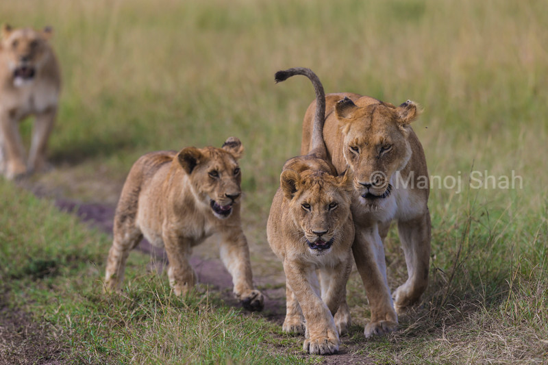 Lioness with cubs walking to tree shade
