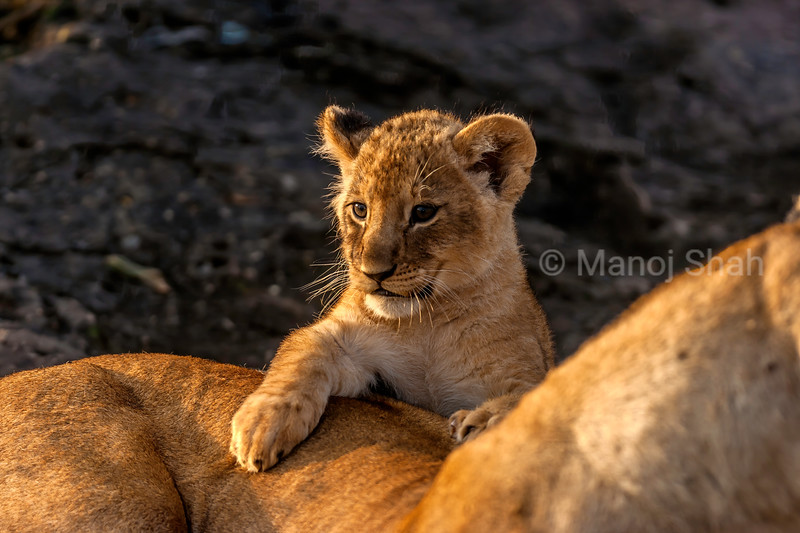 LIon Cub with mother in Masai Mara.